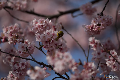 White-Eye and Sakura