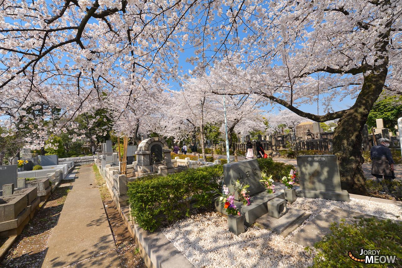 Sakura at Aoyama Cemetery
