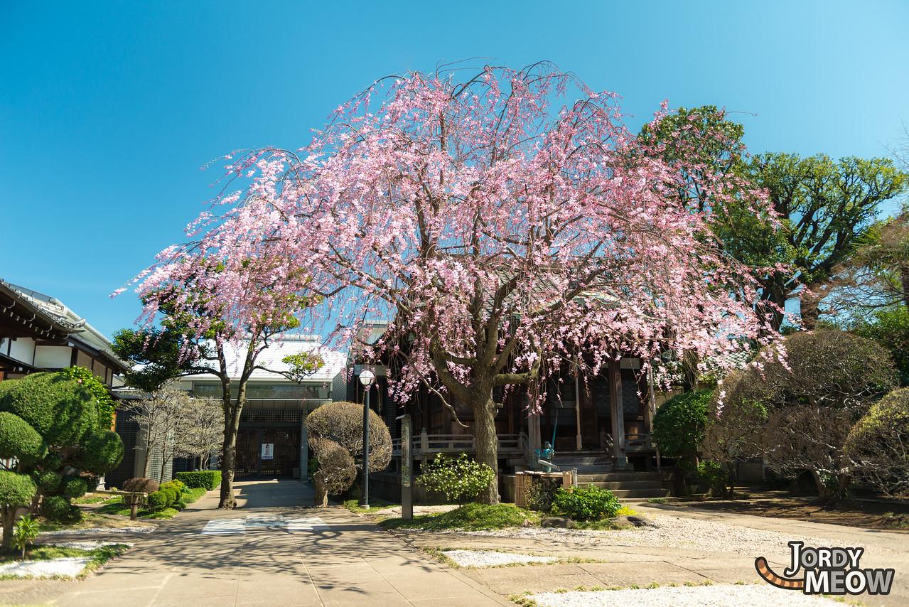 Tennoji Pink Sakura
