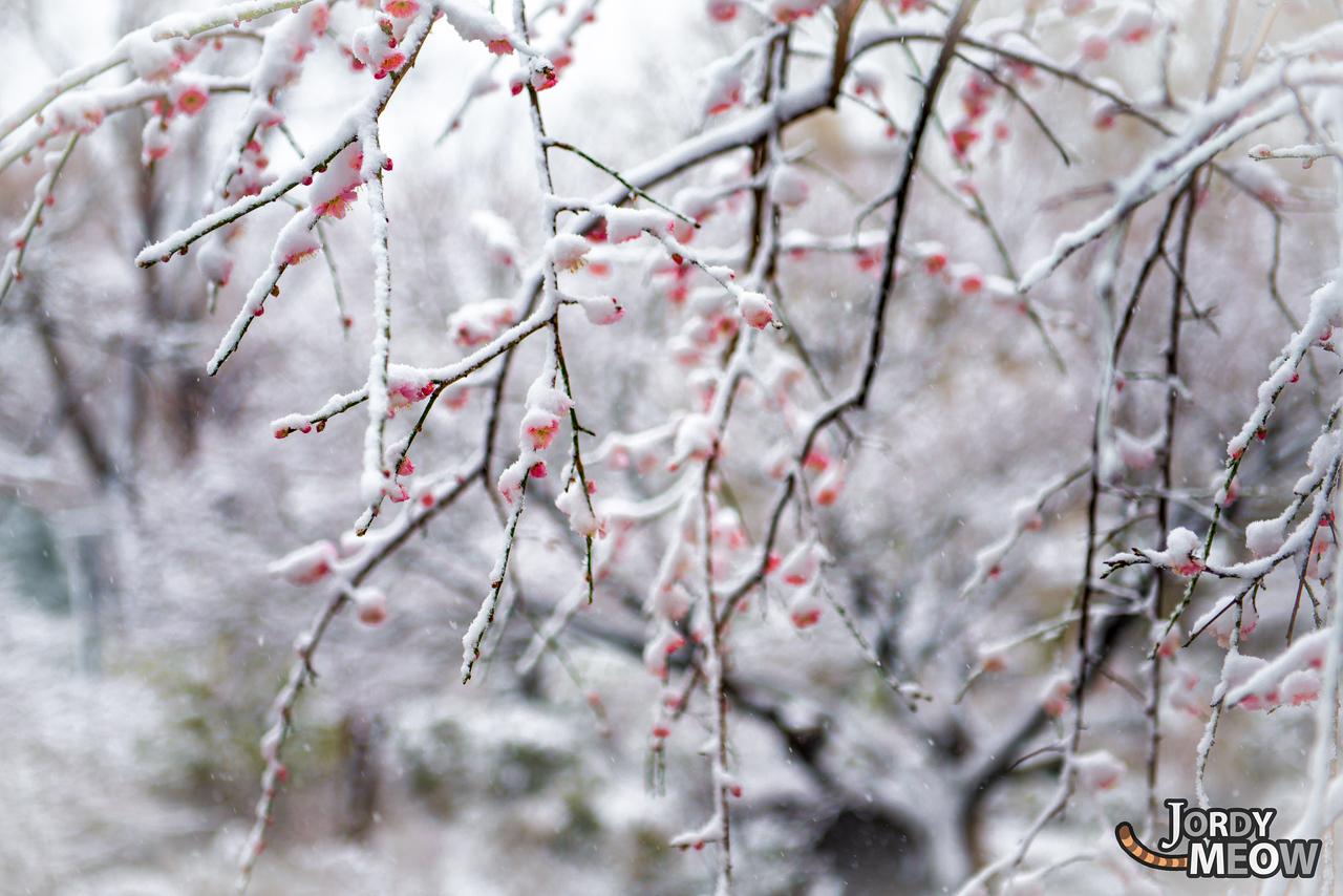 Sakura in Winter