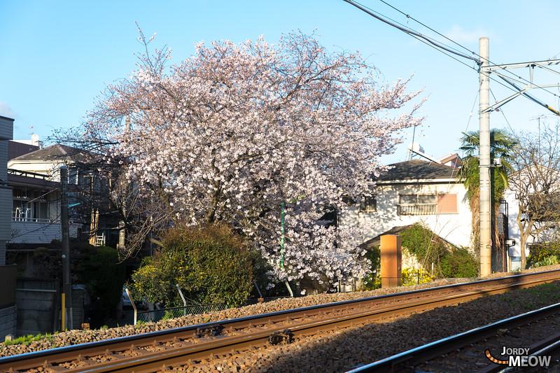 Sakura at Jiyugaoka