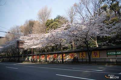 Sakura at Chidorigafuchi