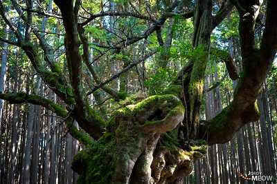 The Giant Tree of Oppara
