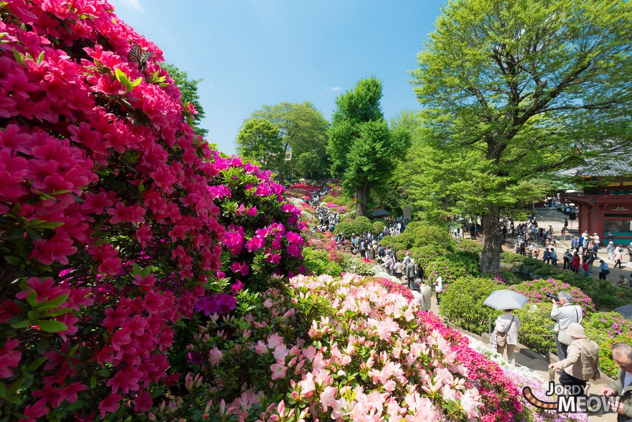 The Azalea Festival at the Nezu Shrine. 3,000 azalea plants – roughly 100 varieties in total, including rare breeds such as the black karafune flower.