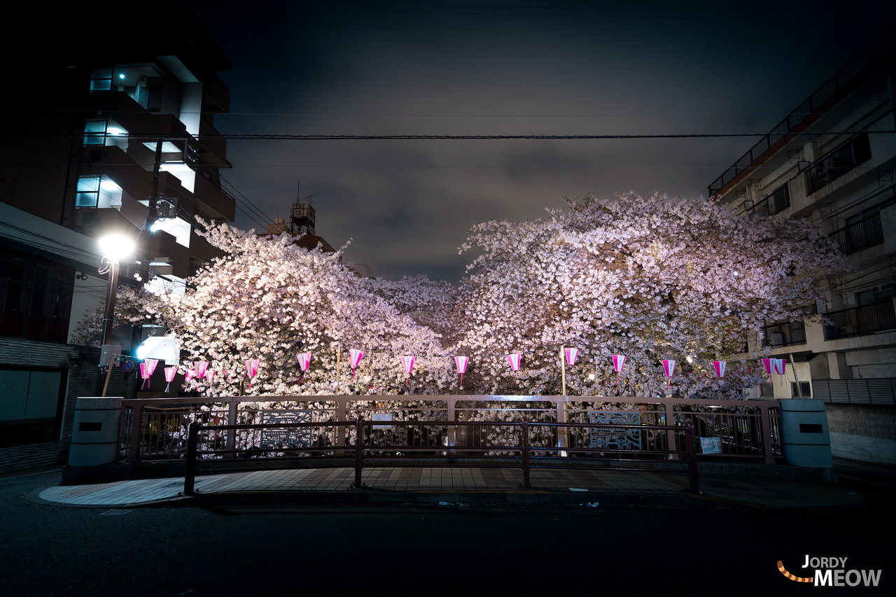 Sakura at Naka-Meguro