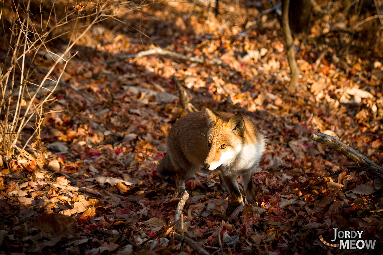 Foxes in Gunma