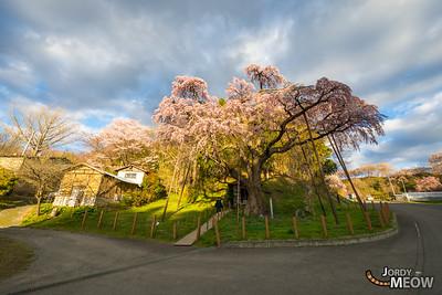 Benishidare Jizo Sakura