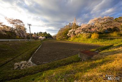 Sakura in Nakatamachi