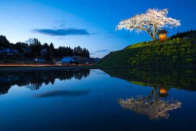 Ozawa Sakura (小沢の桜)