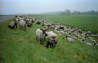 A peaceful, bucolic scene of a flock of sheep happily contented eating plentiful grasses, and resting on this built-up eastern bank of the Elbe River.
