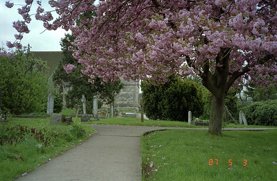 A beautiful tree in full bloom in the green area surrounding the old church and its graveyard.