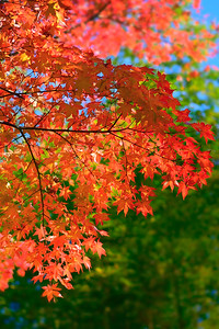 Red Autumn Trees in Japan