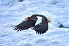 Steller's_Sea_Eagle_2019_In_Flight_Hokkaido_Japan_0106