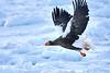 Steller's_Sea_Eagle_2019_In_Flight_Hokkaido_Japan_0099