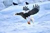 Steller's_Sea_Eagle_2019_In_Flight_Hokkaido_Japan_0109