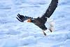 Steller's_Sea_Eagle_2019_In_Flight_Hokkaido_Japan_0097