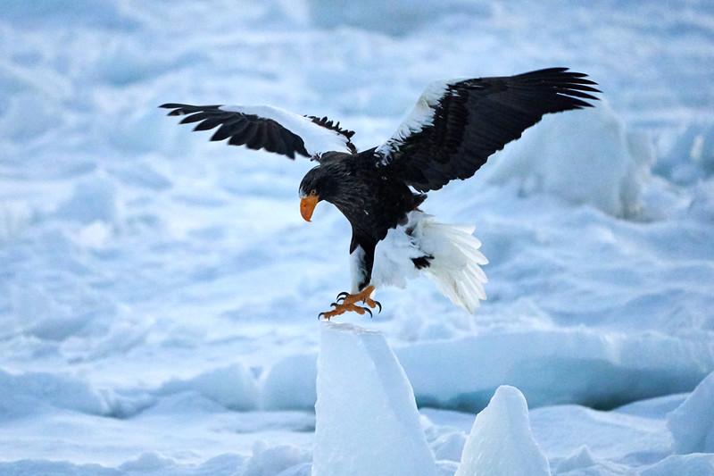 Steller's_Sea_Eagle_2019_In_Flight_Hokkaido_Japan_0092