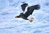 Steller's_Sea_Eagle_2019_In_Flight_Hokkaido_Japan_0107