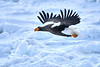 Steller's_Sea_Eagle_2019_In_Flight_Hokkaido_Japan_0101