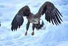 White_Tailed_Eagle_2019_In_Flight_Hokkaido_Japan_0010