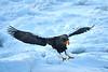 Steller's_Sea_Eagle_2019_In_Flight_Hokkaido_Japan_0094