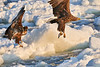 White_Tailed_Eagle_2019_Fishing_Hokkaido_Japan_0004
