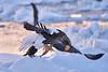 Steller's_Sea_Eagle_2019_Fishing_Hokkaido_Japan_0002