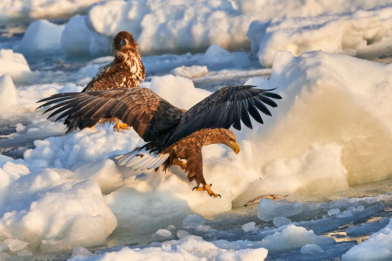 White_Tailed_Eagle_2019_Fishing_Hokkaido_Japan_0001