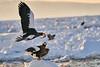 Steller's_Sea_Eagle_2019_Fishing_Hokkaido_Japan_0010