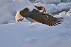 Steller's_Sea_Eagle_2019_Fishing_Hokkaido_Japan_0005