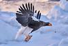 Steller's_Sea_Eagle_2019_Fishing_Hokkaido_Japan_0003