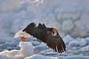 Steller's_Sea_Eagle_2019_Fishing_Hokkaido_Japan_0006