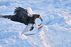 Steller's_Sea_Eagle_2019_Eating_Fish_Hokkaido_Japan_0096