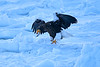 Steller's_Sea_Eagle_2019_Eating_Fish_Hokkaido_Japan_0081
