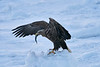 Steller's_Sea_Eagle_2019_Eating_Fish_Hokkaido_Japan_0079