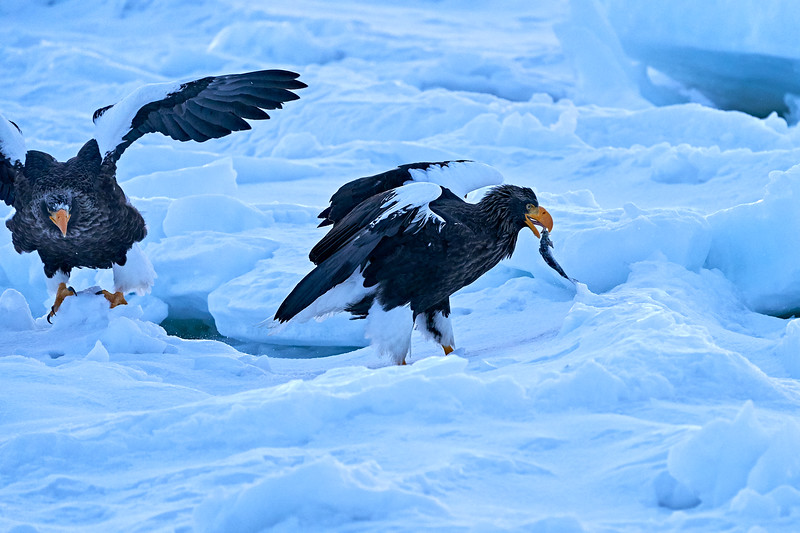 Steller's_Sea_Eagle_2019_Eating_Fish_Hokkaido_Japan_0078