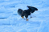 Steller's_Sea_Eagle_2019_Eating_Fish_Hokkaido_Japan_0082