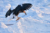 Steller's_Sea_Eagle_2019_Eating_Fish_Hokkaido_Japan_0097