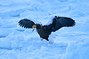 Steller's_Sea_Eagle_2019_Eating_Fish_Hokkaido_Japan_0080