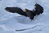 Steller's_Sea_Eagle_2019_On_Ice_Hokkaido_Japan_0088
