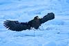 Steller's_Sea_Eagle_2019_On_Ice_Hokkaido_Japan_0104