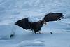 Steller's_Sea_Eagle_2019_On_Ice_Hokkaido_Japan_0086