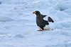 Steller's_Sea_Eagle_2019_On_Ice_Hokkaido_Japan_0100