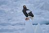 Steller's_Sea_Eagle_2019_On_Ice_Hokkaido_Japan_0087