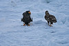 Steller's_Sea_Eagle_2019_On_Ice_Hokkaido_Japan_0098
