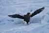 Steller's_Sea_Eagle_2019_On_Ice_Hokkaido_Japan_0093