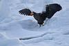 Steller's_Sea_Eagle_2019_On_Ice_Hokkaido_Japan_0089