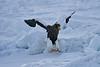 Steller's_Sea_Eagle_2019_On_Ice_Hokkaido_Japan_0092