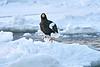 Steller's_Sea_Eagle_2019_On_Ice_Hokkaido_Japan_0103