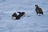 Steller's_Sea_Eagle_2019_On_Ice_Hokkaido_Japan_0091